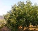 شجرة تين